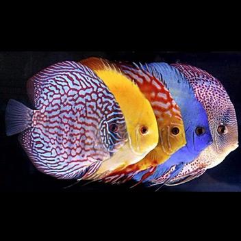 Risultati immagini per pesci gialli bruni strani